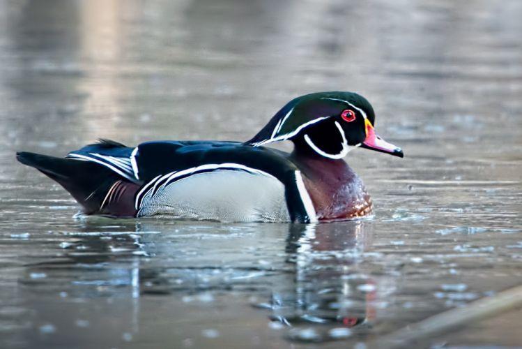 WOOD DUCK bird ducks (31) wallpaper