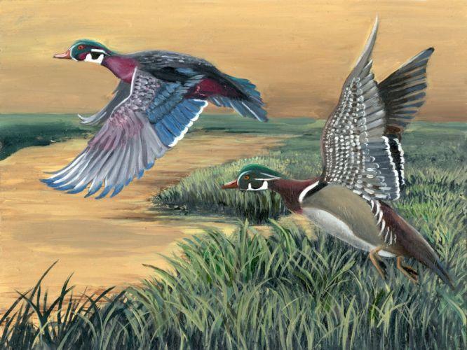 WOOD DUCK bird ducks (36) wallpaper