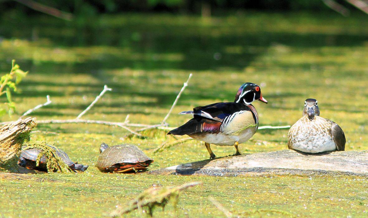 WOOD DUCK bird ducks (38)_JPG wallpaper