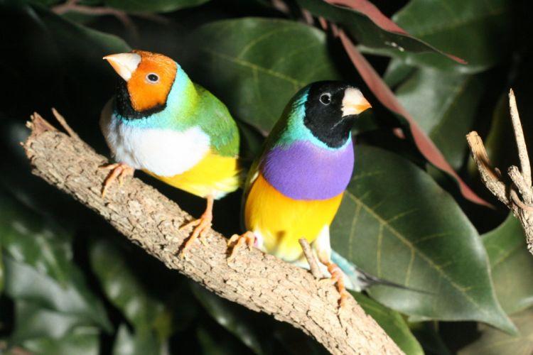 FINCH bird finches (7) wallpaper