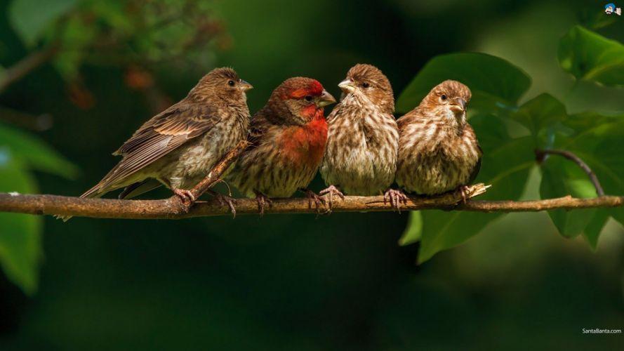 FINCH bird finches (8) wallpaper