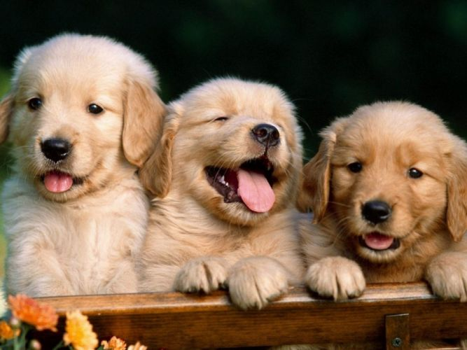 puppies puppy baby dog dogs (10) wallpaper