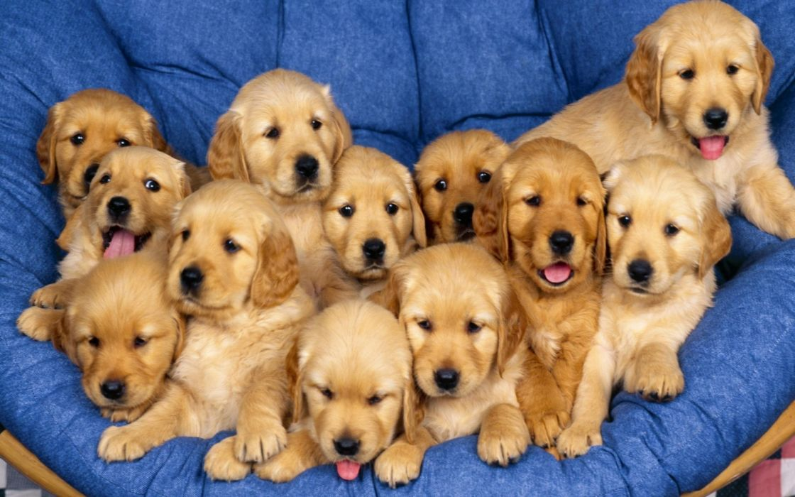 puppies puppy baby dog dogs (11) wallpaper