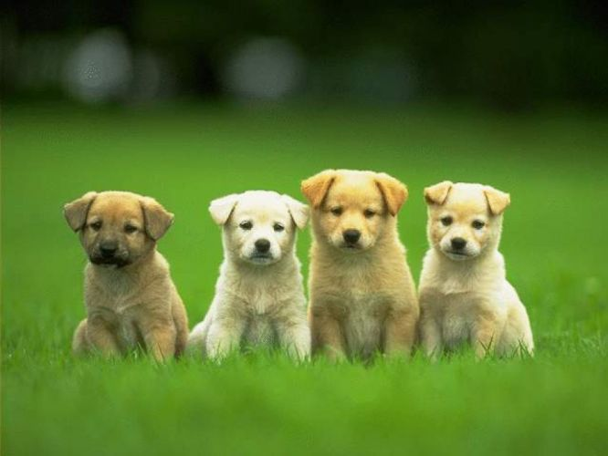 puppies puppy baby dog dogs (48) wallpaper