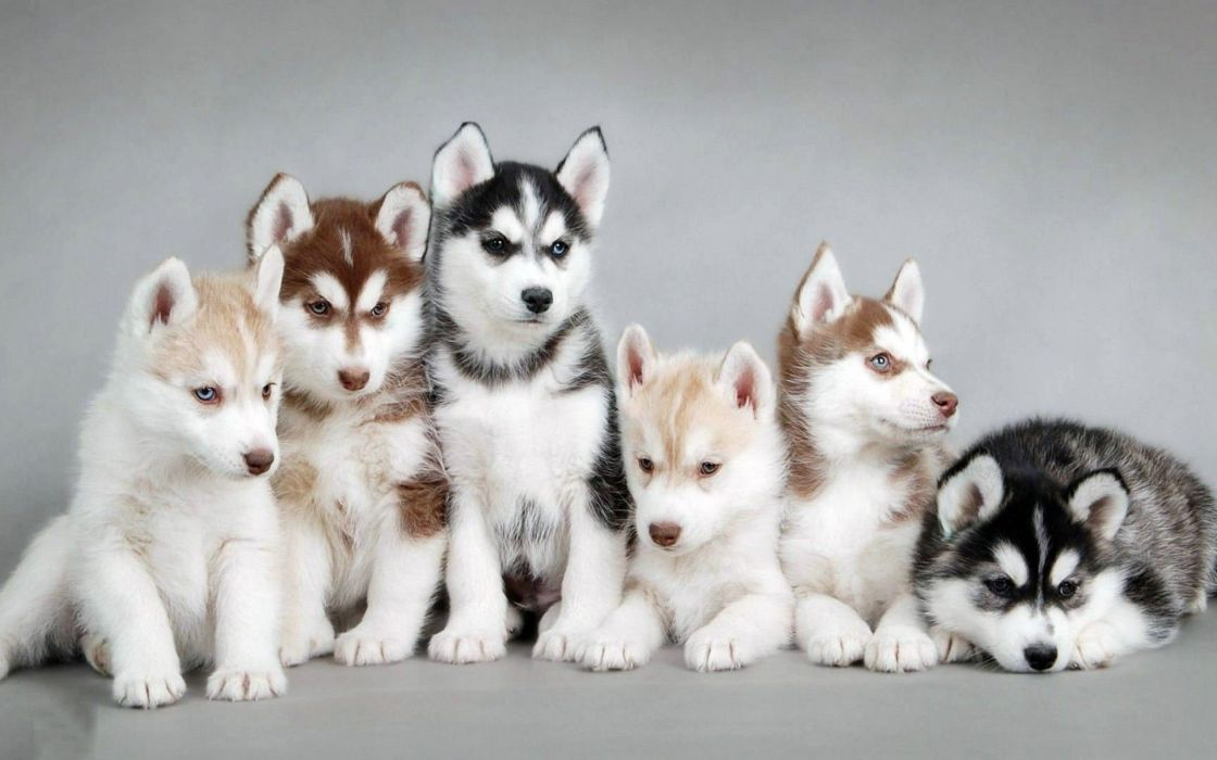 puppies puppy baby dog dogs (49) wallpaper