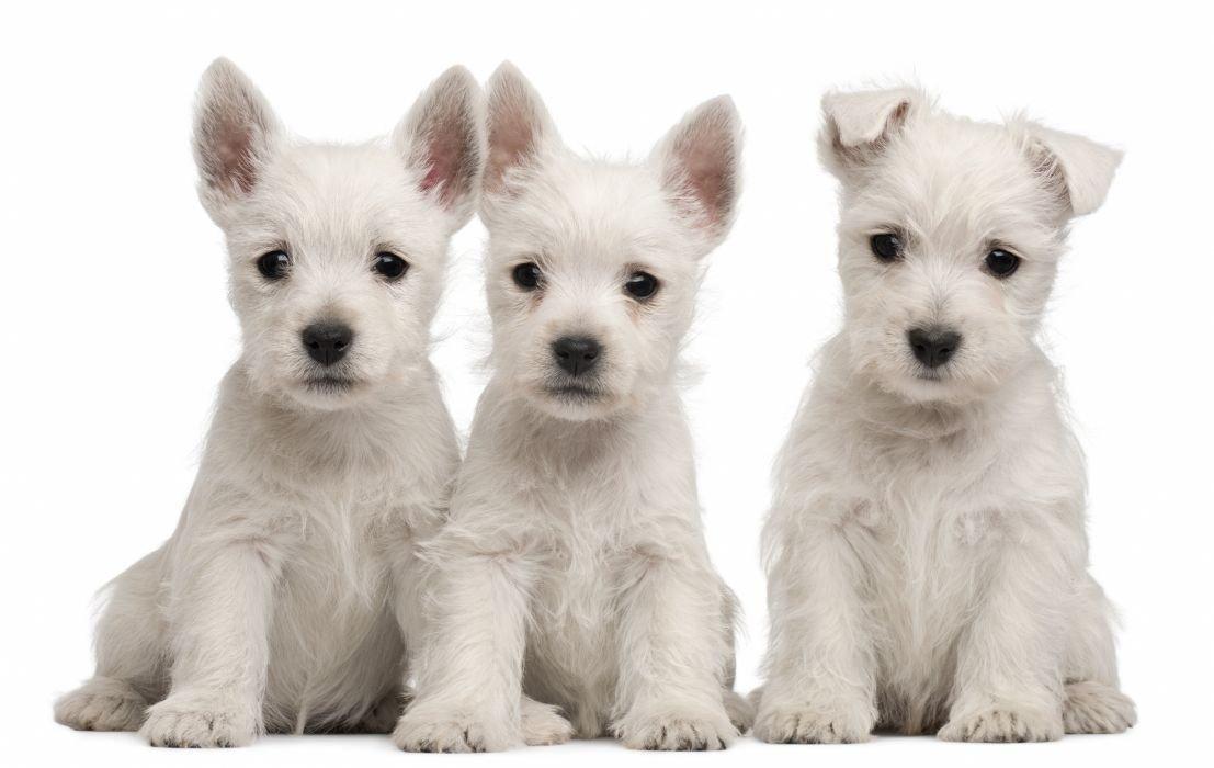 puppies puppy baby dog dogs (55) wallpaper