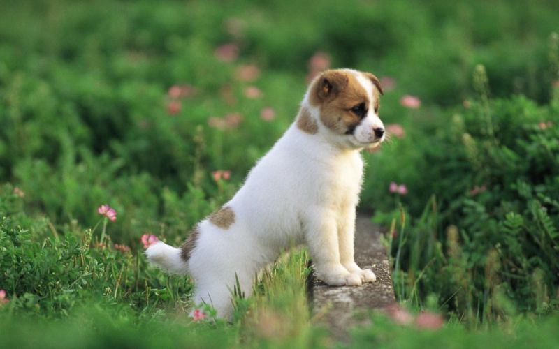 puppies puppy baby dog dogs (60) wallpaper