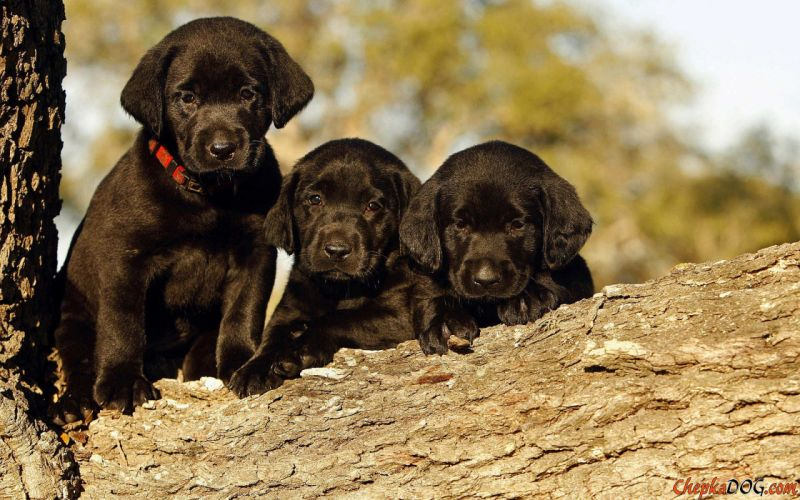 puppies puppy baby dog dogs (76) wallpaper