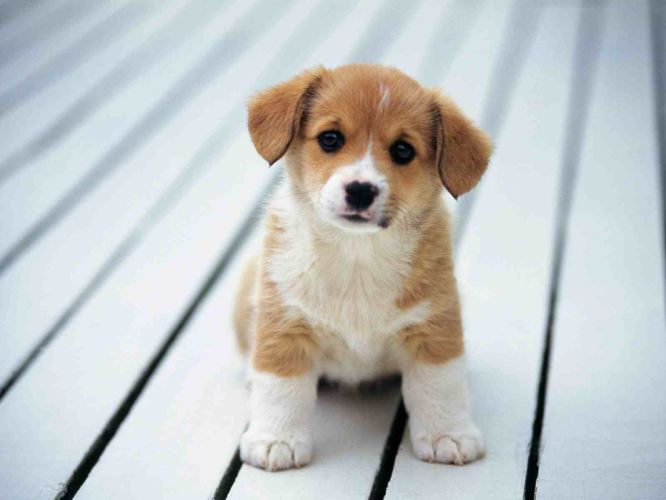 puppies puppy baby dog dogs (84) wallpaper