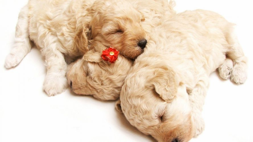 puppies puppy baby dog dogs (85) wallpaper