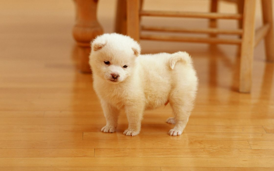 puppies puppy baby dog dogs (86) wallpaper