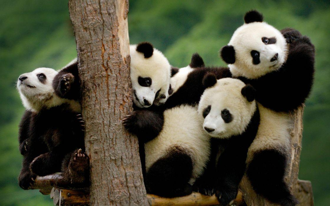 panda pandas baer bears baby cute (3) wallpaper