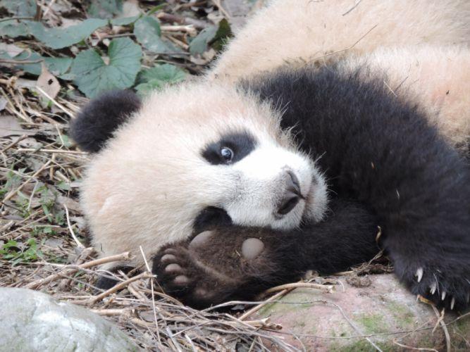 panda pandas baer bears baby cute (6) wallpaper