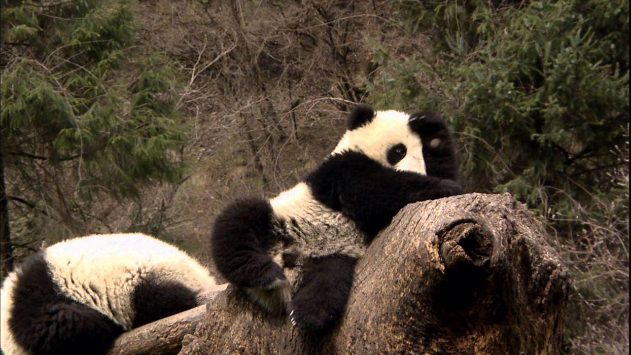panda pandas baer bears baby cute (8) wallpaper