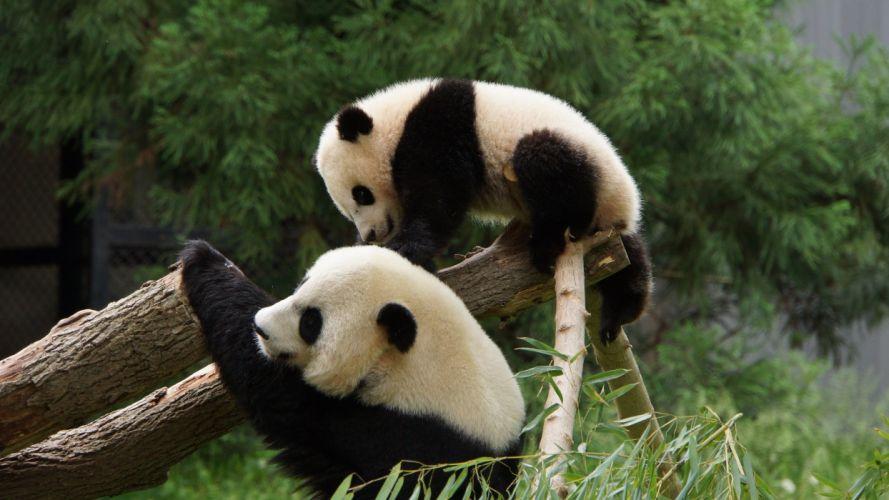panda pandas baer bears baby cute (9) wallpaper