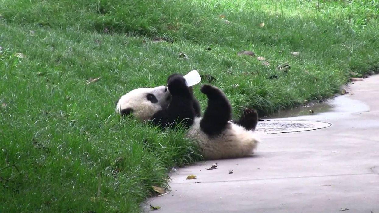 panda pandas baer bears baby cute (12) wallpaper
