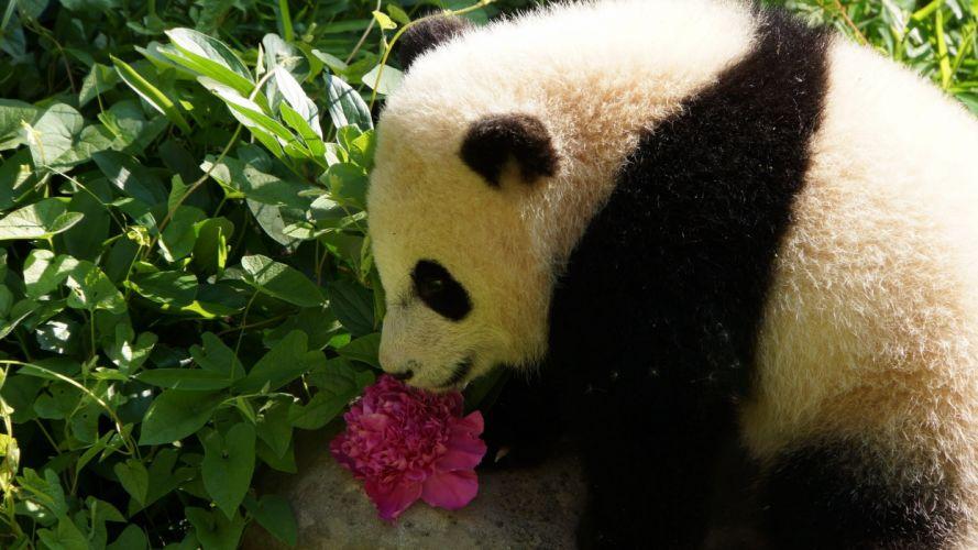 panda pandas baer bears baby cute (13) wallpaper