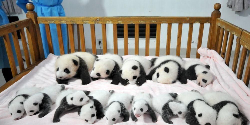 panda pandas baer bears baby cute (18) wallpaper