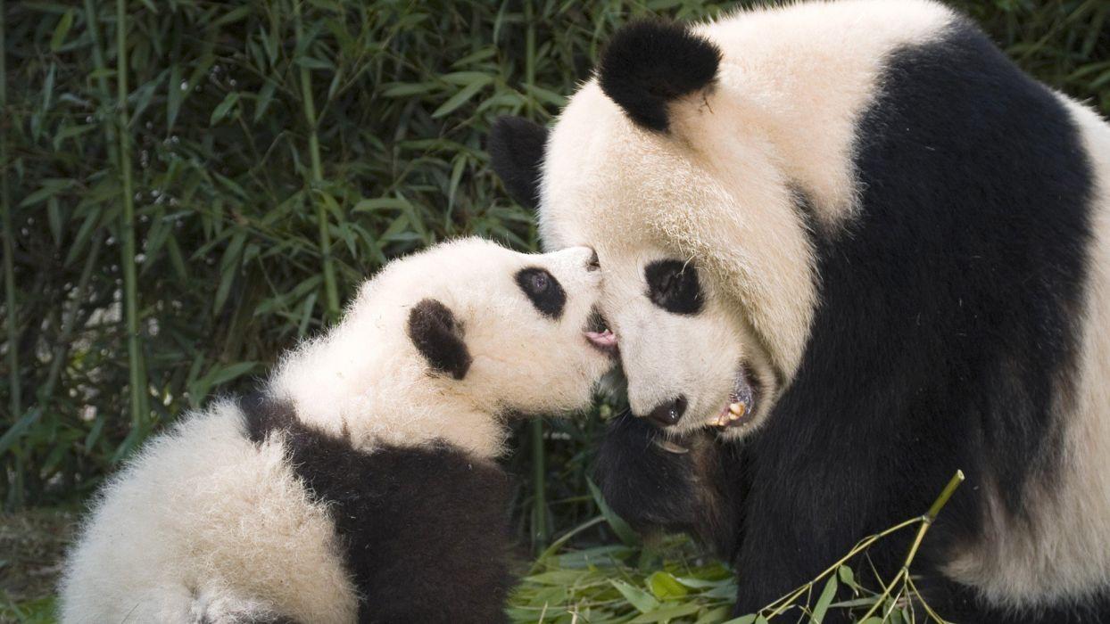 panda pandas baer bears baby cute (21) wallpaper