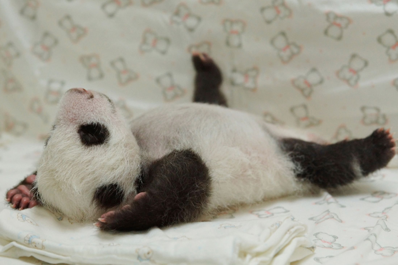 Cute Baby Panda Pics: Panda Pandas Baer Bears Baby Cute (20) Wallpaper