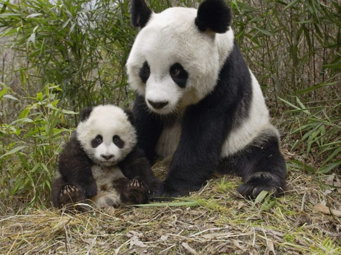 panda pandas baer bears baby cute (22) wallpaper