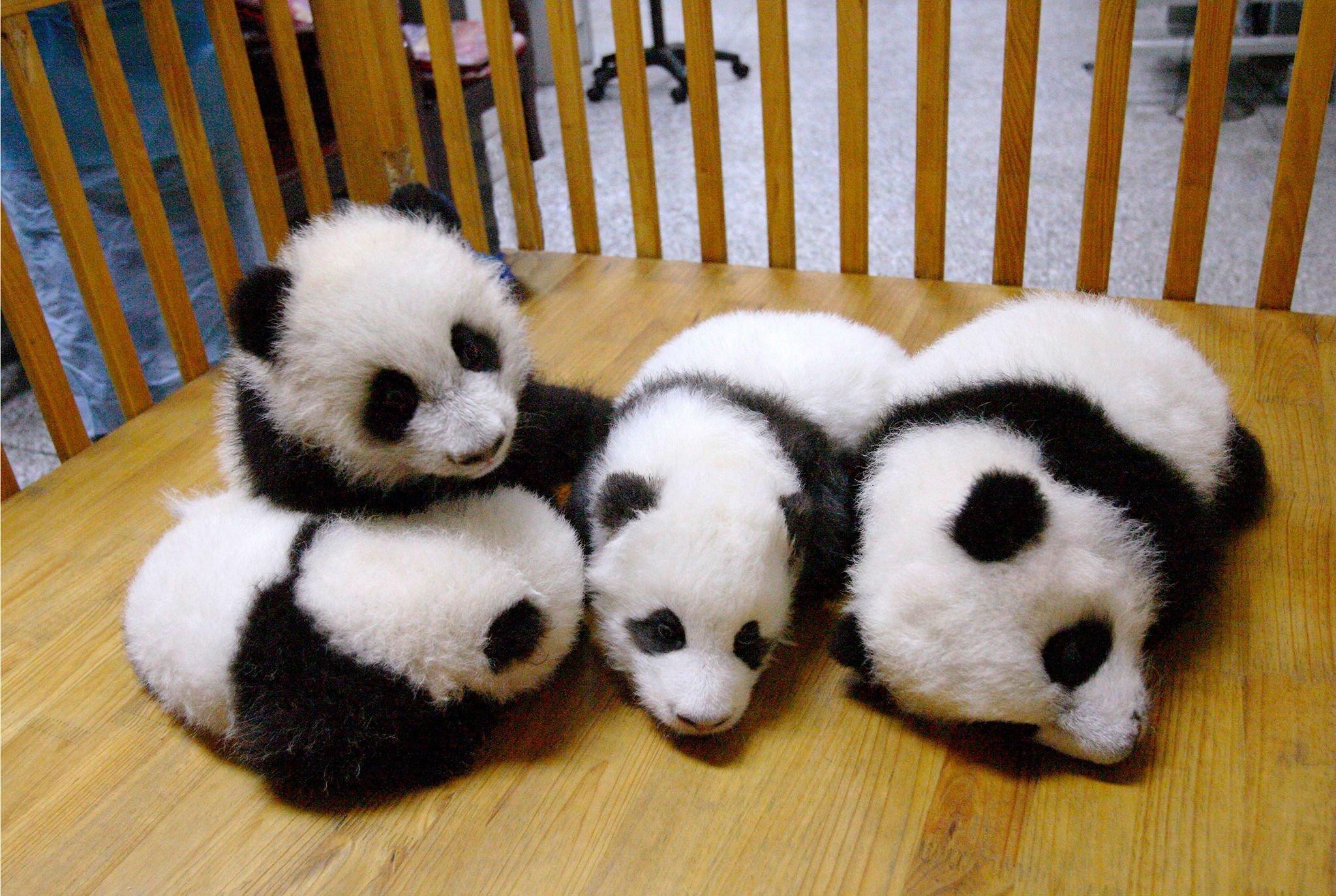 Cute Baby Panda Pics: Panda Pandas Baer Bears Baby Cute (29) Wallpaper