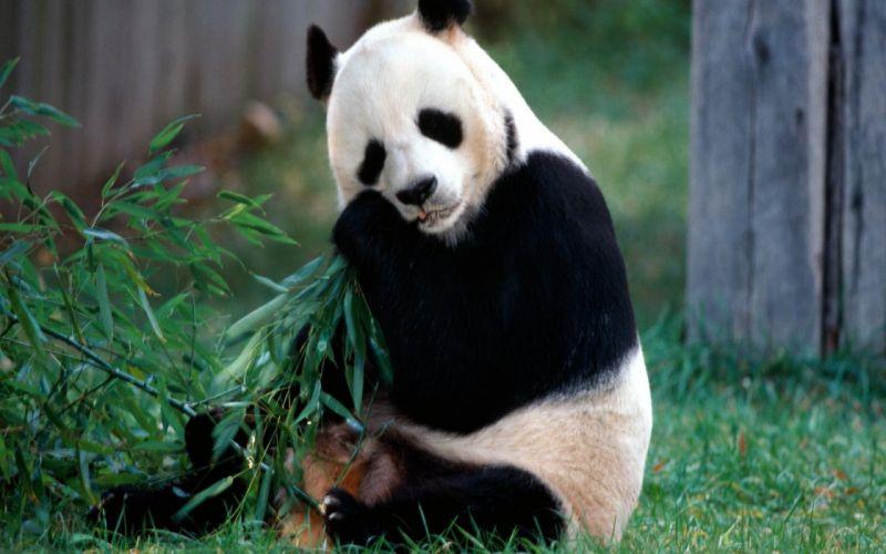 panda pandas baer bears baby cute (27) wallpaper