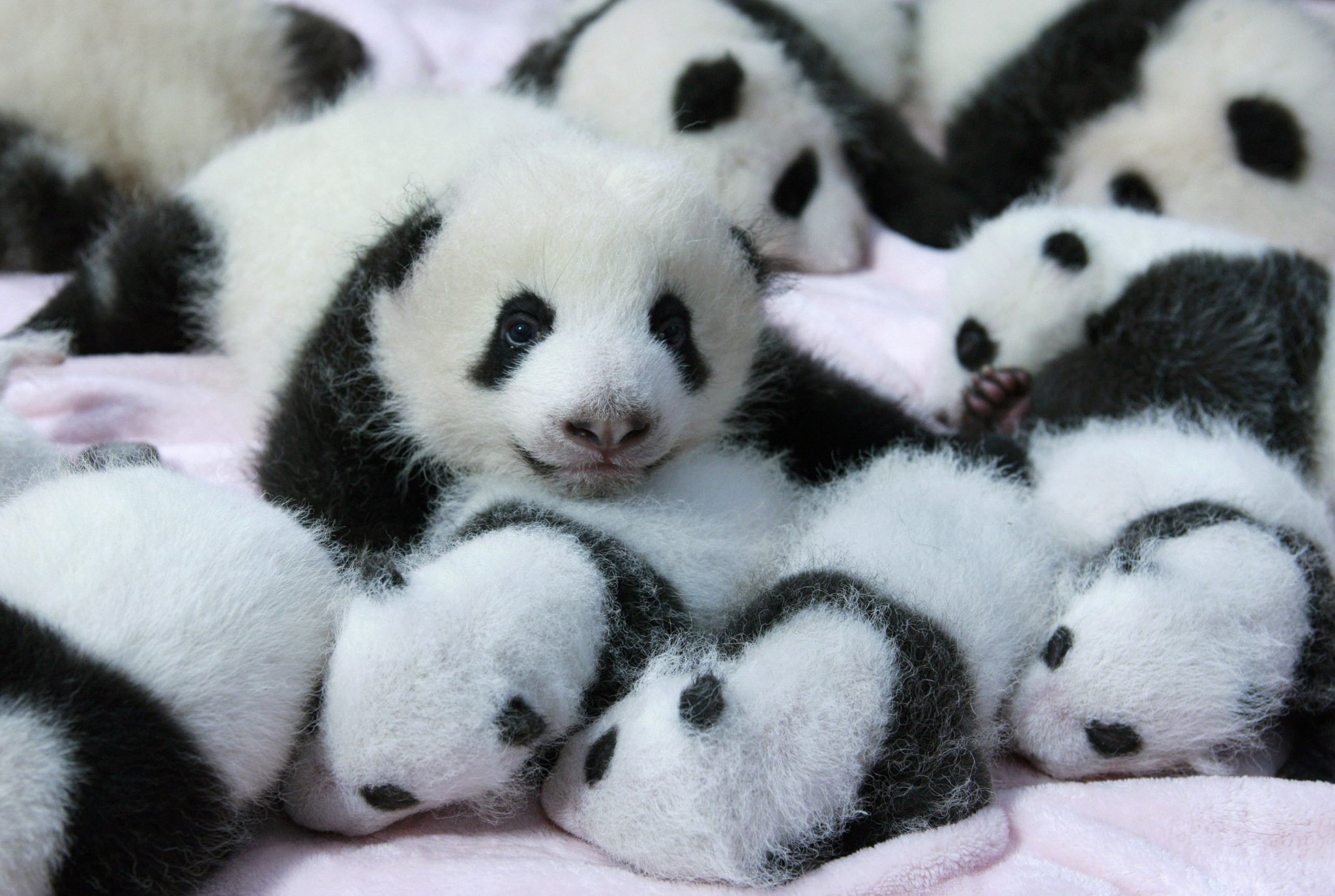 Panda pandas baer bears baby cute (30) wallpaper ...