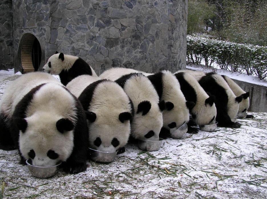 panda pandas baer bears baby cute (32) wallpaper