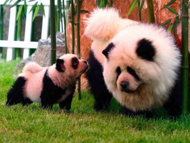 panda pandas baer bears baby cute (39) wallpaper