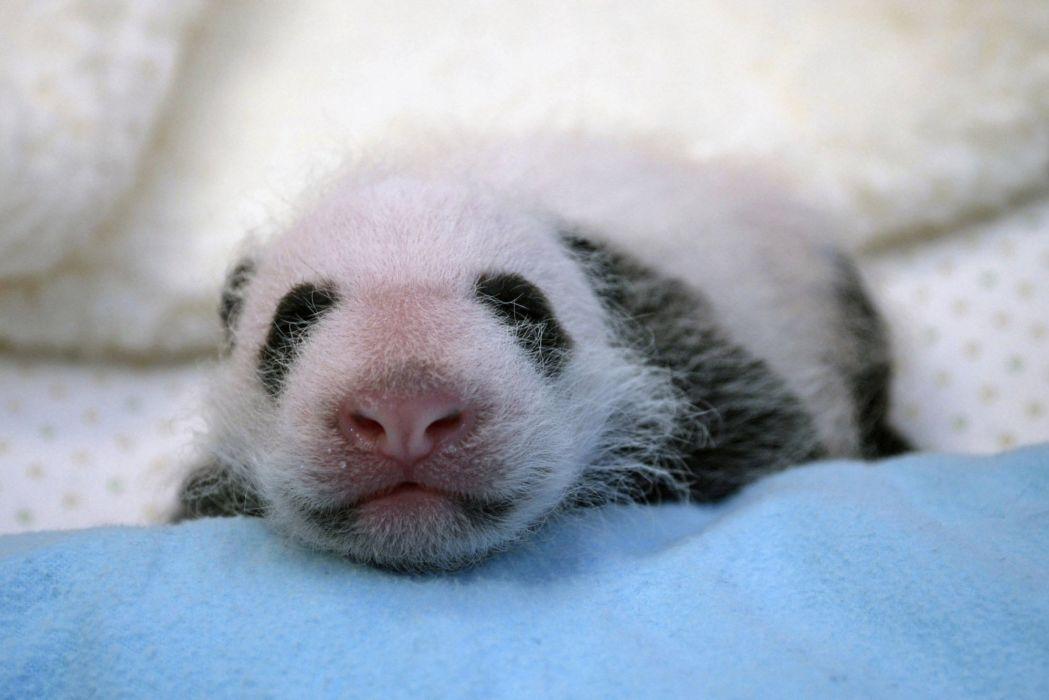 panda pandas baer bears baby cute (37) wallpaper