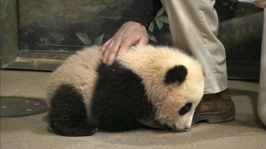 panda pandas baer bears baby cute (35) wallpaper