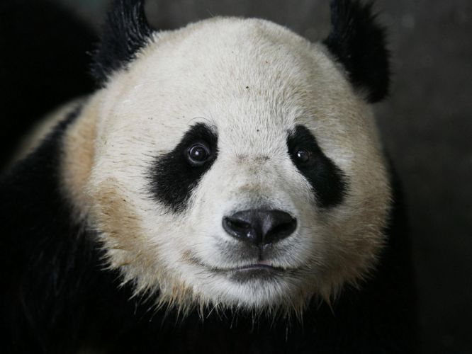 panda pandas baer bears wallpaper