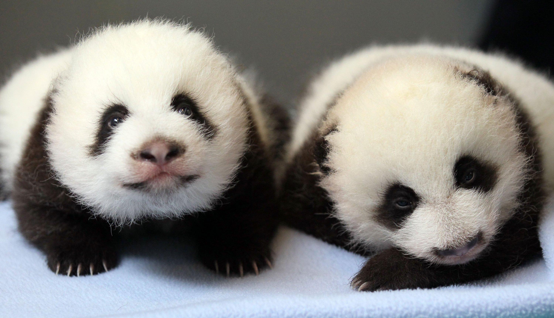 Panda pandas baer bears baby cute (41) wallpaper