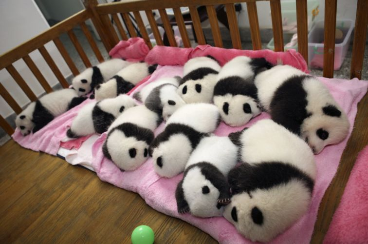 panda pandas baer bears baby cute (47) wallpaper