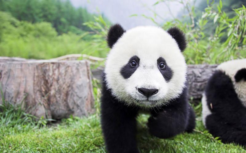 panda pandas baer bears baby cute (53) wallpaper
