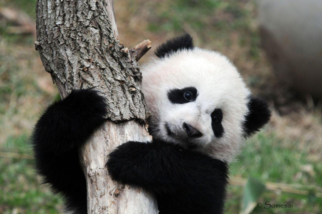 panda pandas baer bears baby cute (59) wallpaper