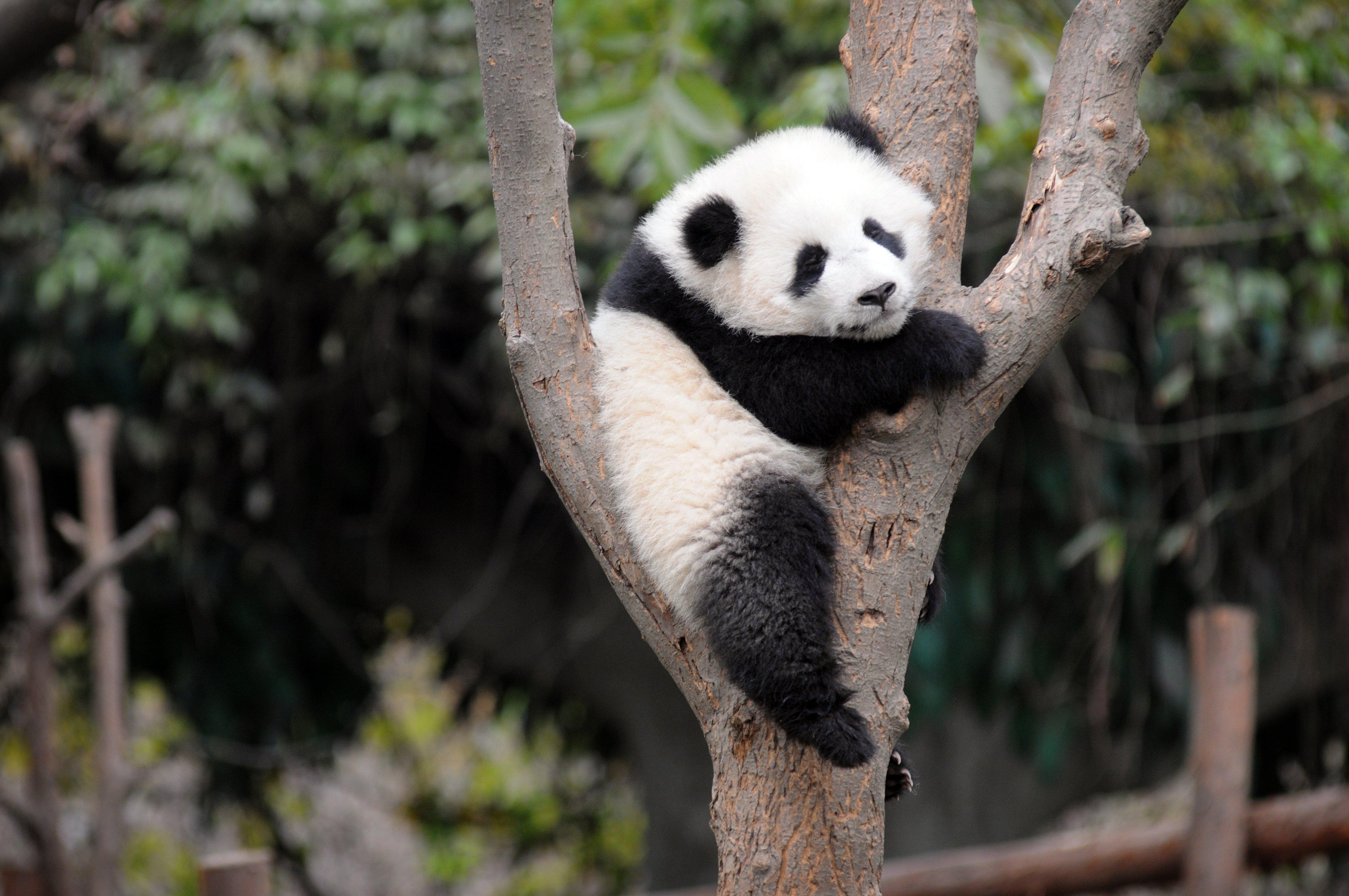 Cute Baby Panda Bears Wallpaper