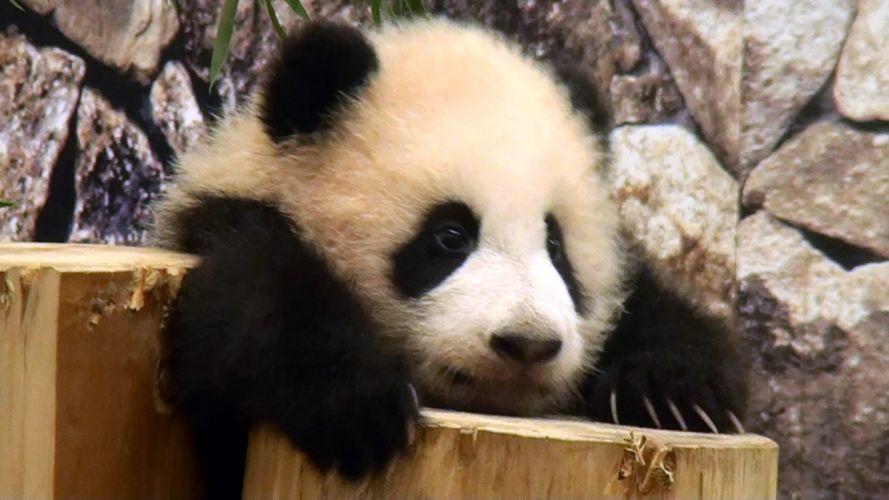 panda pandas baer bears baby cute (64) wallpaper