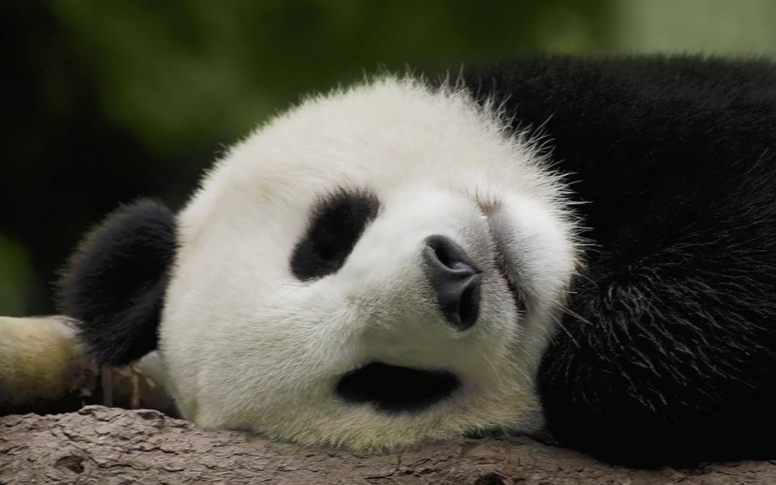 panda pandas baer bears baby cute (67) wallpaper