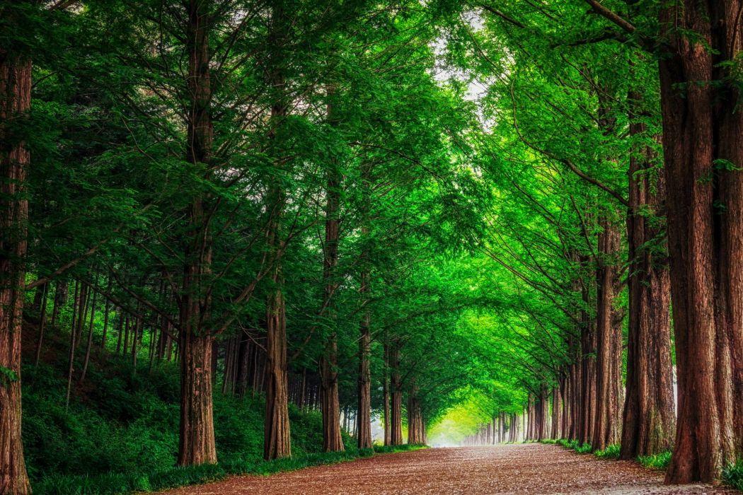landscape nature forest trees metasekvoya road alley South Korea wallpaper