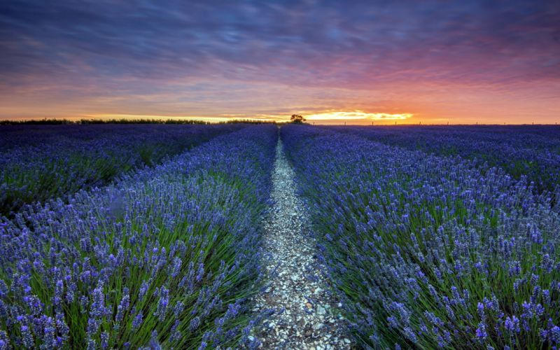 sunset lavender landscape field wallpaper