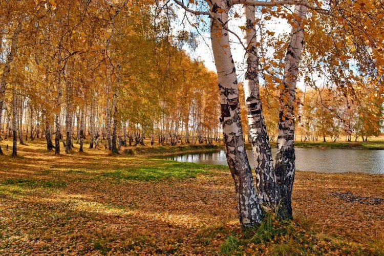 Park birch fall trees pond wallpaper