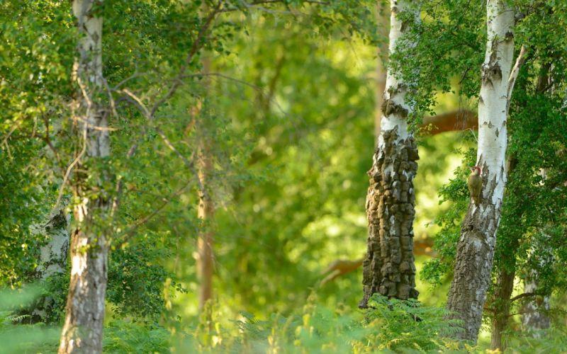 nature summer birch e wallpaper