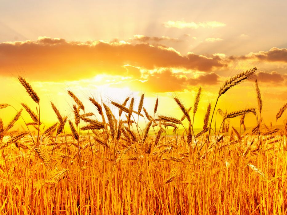Fields Sunrises and sunsets Sky Ear botany Nature wheat grass bokeh wallpaper