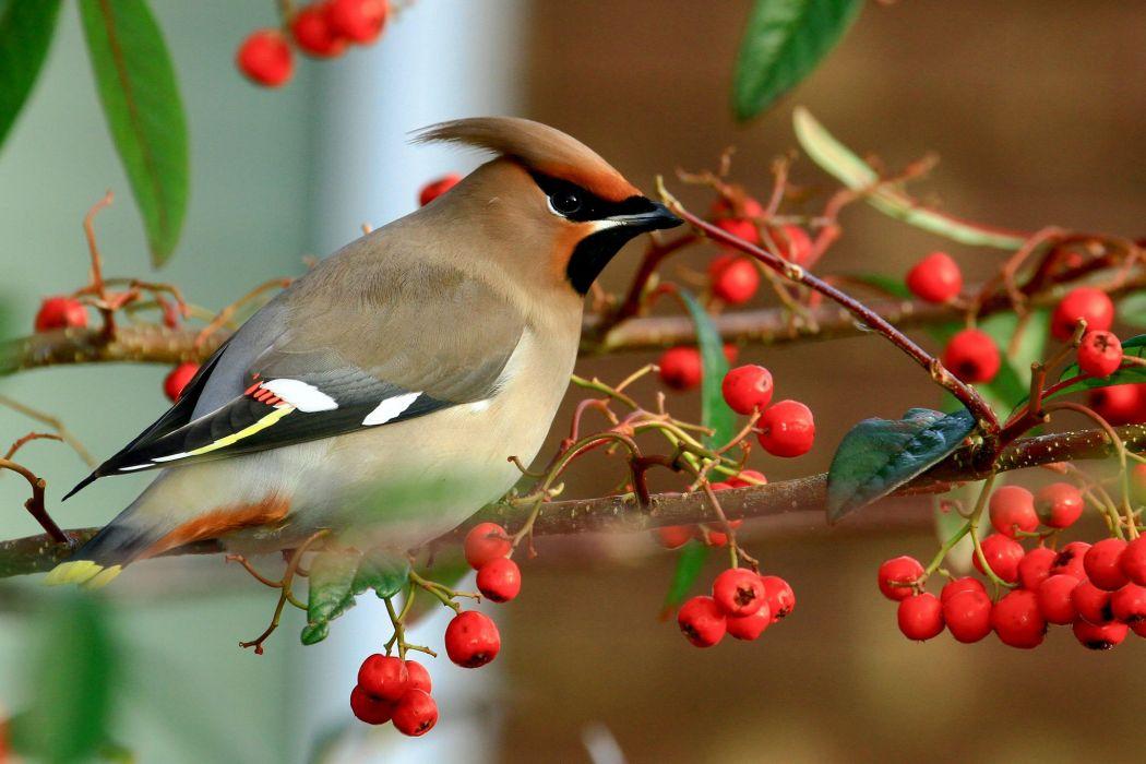 bird birds nature berries branch wallpaper