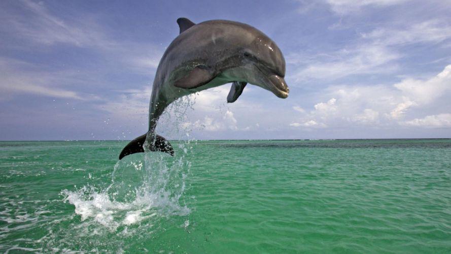 Dolphin Jumping wallpaper