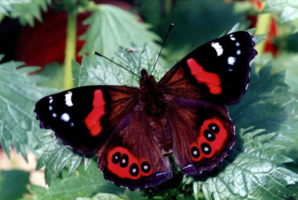 admiral butterfly (3) wallpaper
