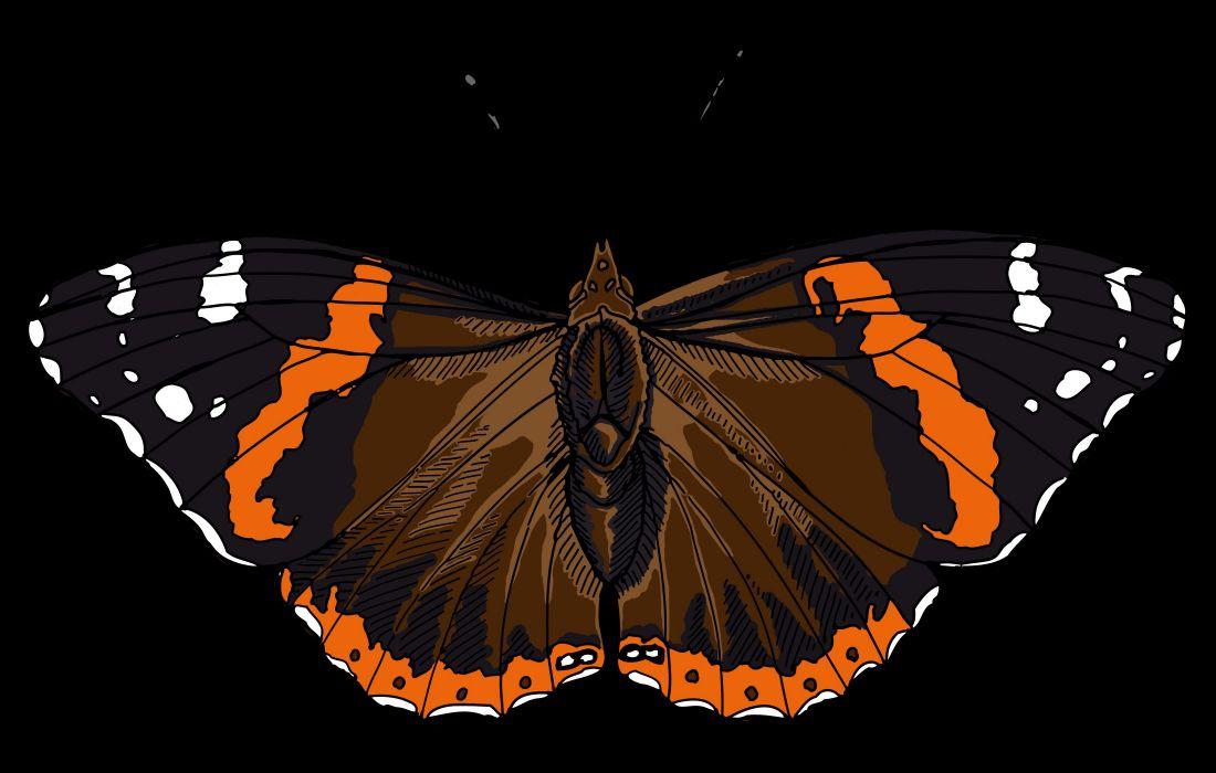 admiral butterfly (1) wallpaper
