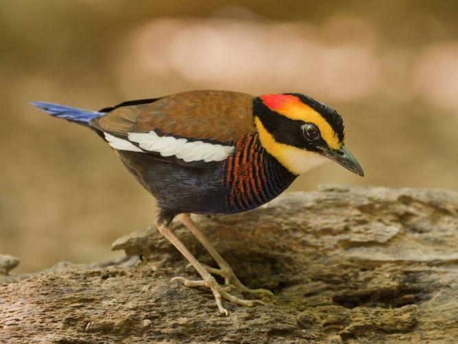 bird pitta e wallpaper